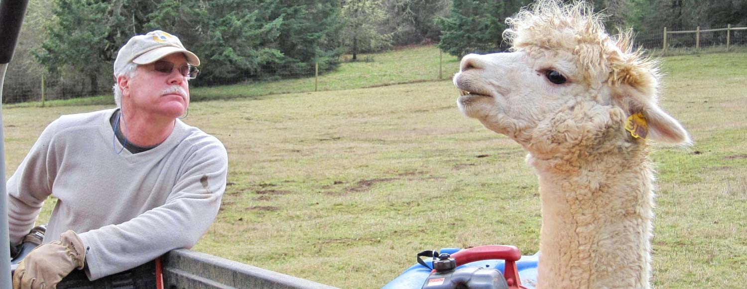 Alpaca lifestyle in the Pacific Northwest